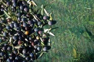 The Koroneiki-olive is the basis for Gkazas Olive Oil 1
