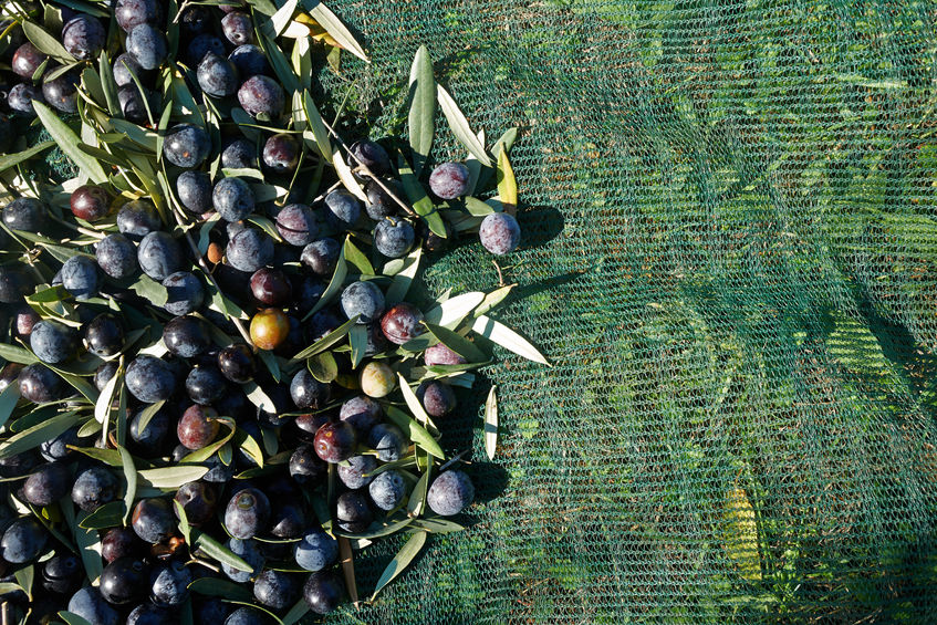 The Koroneiki-olive is the basis for Gkazas Olive Oil 1