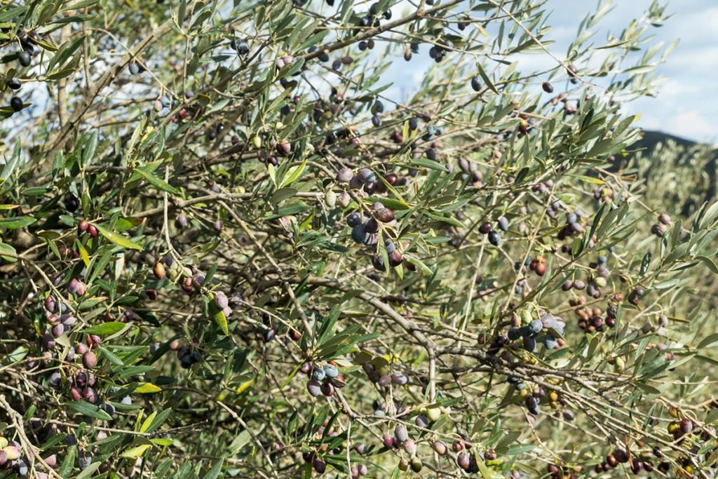 Olijven gezond olijfolie